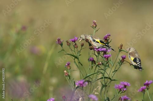 Tuinposter Lavendel Chardonneret à la recherche de nourriture!