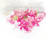 Blossom pink flower (Rangoon creeper) - 182520731