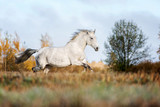 Beautiful horse running on the meadow. - 182522342