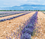 Field of young lavender flowering plants. Blue sky at the background. - 182526740