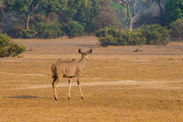Kudu in der Savanne vom in Simbabwe, Südafrika