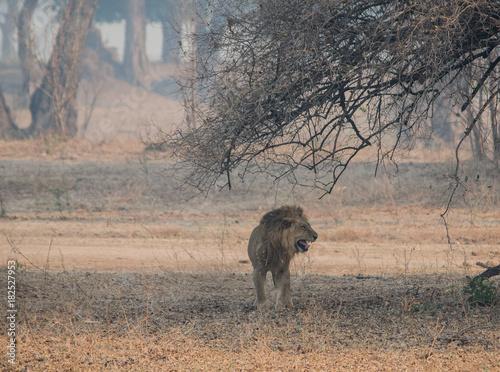 Fotobehang Lion Löwe in der Savanne vom in Simbabwe, Südafrika