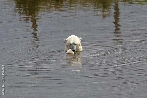 Fotobehang Zwaan polar bear