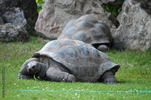 Fotobehang Schildpad Turtle Huge in the grass