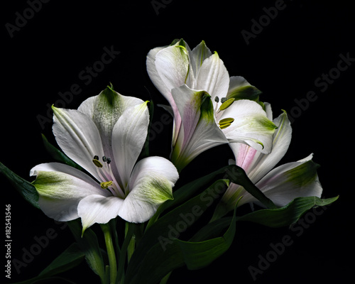 Fotobehang Natuur White Alstroemeria Trio 0214