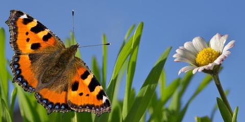 Banner mit Schmetterling und Gänseblümchen
