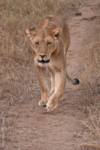 Fotobehang Lion Löwin