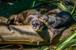 Leinwanddruck Bild - Otter Paar beim kuscheln