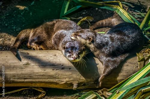 Leinwanddruck Bild Otter Paar beim kuscheln