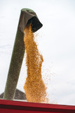 Combine pouring harvested corn grains into tractor trailer - 182566536