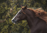 Portrait of a red beautiful horse in motion autumn