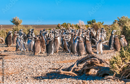 Plexiglas Pinguin Magellanic penguins in Patagonia, Argentina