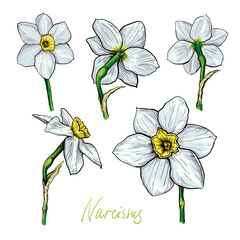 Set of different flowers of Narcissus. Hand drawn sketch. Template for your floral design