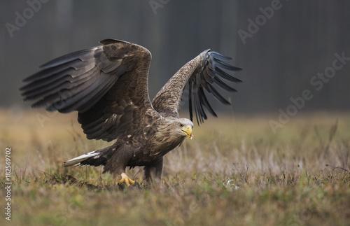 Plexiglas Eagle White tailed Eagle (Haliaeetus albicilla)
