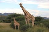 Giraffe - 182570116