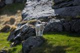 Baby sheep on rock looking around, Lofoten, Norway - 182571130
