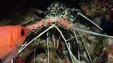 Painted spiny lobster, Panulirus versicolor, WAKATOBI, Indonesia, slow motion - 182580350