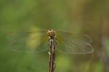 Big dragonfly against a green grass  - 182585308