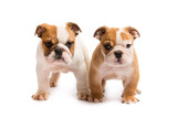 Two English bulldog puppies playing in front of a white background - 182592791