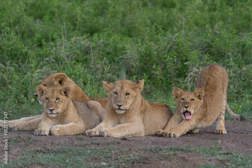 Fotobehang Lion Young lions - siblings