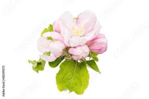 Foto op Plexiglas Magnolia flowers of an apple tree