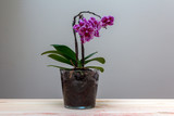 flowering phalaenopsis orchid on the table