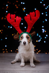 Dog Jack Russell Terrier Christmas