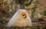 Pomeranian dog outdoor portrait in nature - 182603101