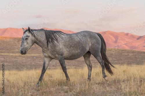 Wild Horse at Sunset in the Desert