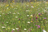 Wildblumenwiese - wildflower meadow - Sommerwiese