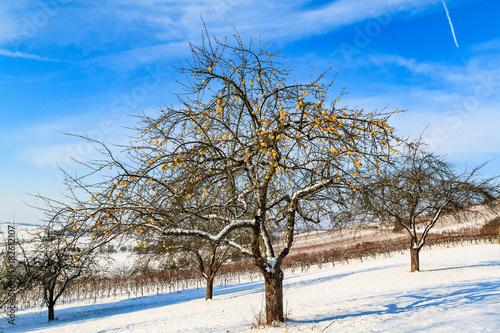 In de dag Wijngaard Früchte im Winter