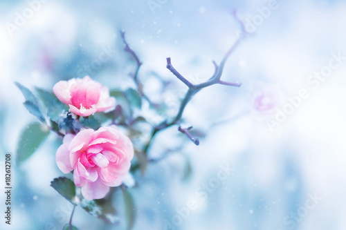 Beautiful pink roses in snow on a blue background. Snowing. Artistic winter image.