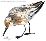 watercolor illustration with Sandpiper sea bird.