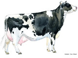 hand-drawn watercolor illustration of Dairy cow - 182615501