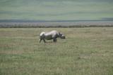 Black Rhinoceros - 182617748