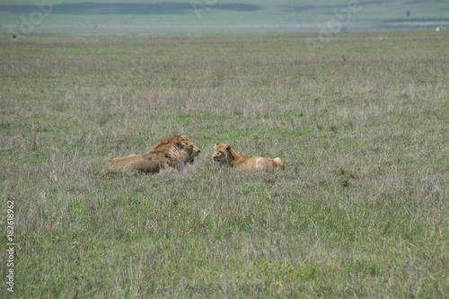 Fotobehang Lion Lion Couple