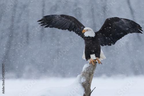 Canvas Eagle Snowy Eagle