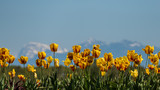 tulip field with mountain in background
