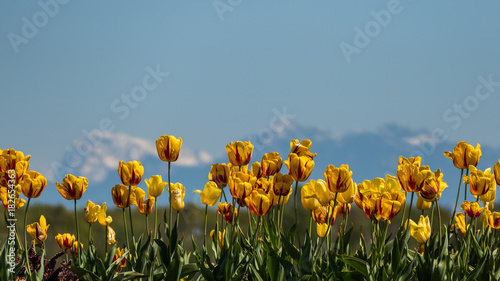 Fotobehang Tulpen tulip field with mountain in background