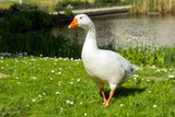 Beautiful White goose in a lake - 182664987