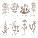 Set of Medicinal Plants. Collection in Hand Drawn Style. Vector Illustration of Nettle Chamomile Dandelion Wild Rosemary Foxglove Coltsfoot Valerian Calendula - 182667360