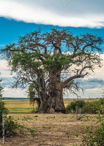 Poster Baobab Baobab tree, Chobe riverfront, Serondela, Chobe National Park, Botswana