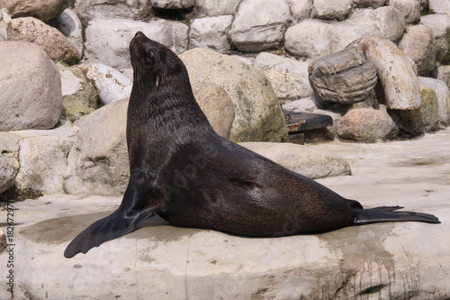 Kalifornischer Seelöwe liegt auf Stein,  Zalophus californi Poster