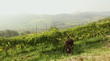 Beautiful panoramic view of the Italian valley with vineyard. Brown little horse grazes on a meadow, little horse eats grass - 182674736