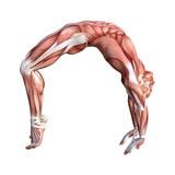 3D Rendering Male Anatomy Figure on White - 182676187