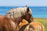 Jument Trait Breton et son poulain au pré près de la côte - 182678351