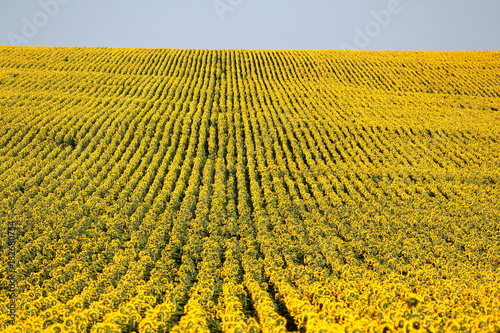 Rows of sunflowers in a field as background, beautiful summer landscape. Textured effect