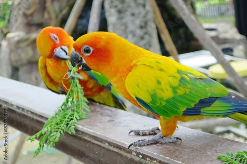 Plexiglas Papegaai Two orange parrots sitting on a wooden perch and eating leaves together. Selective focus.