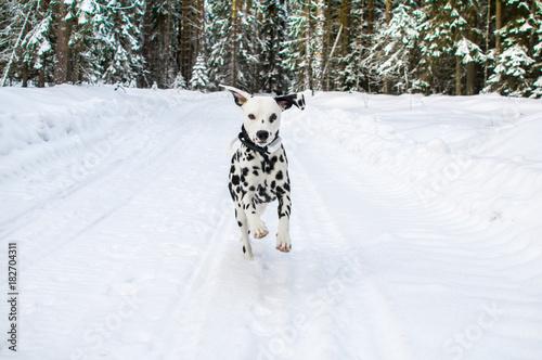 Dalmatian in snow Poster