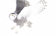 Snowy Owl Bubo Scandiacus    Flies Low Hunting Over An Open Snowy Field In Canada Sticker